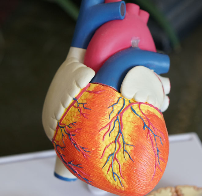 Plastic model of a human heart, Cardiovascular Disease Treatment in Montana